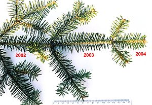 Evergreen - A silver fir shoot showing three successive years of retained leaves.
