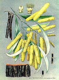 Acacia binervia-Minchen