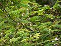 Acacia concinna (5595237947).jpg