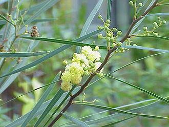Acacia retinodes - Image: Acacia melanoxylon 2