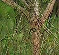Acacia pennata trunk in Talakona forest, AP W IMG 8292.jpg