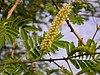 Acaciachundra