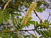 Acaciachundra.jpg