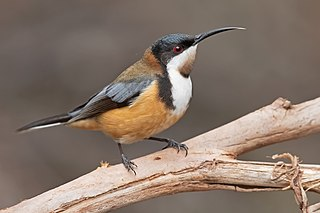 Eastern spinebill species of bird