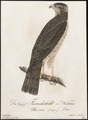 Accipiter nisus - 1800-1812 - Print - Iconographia Zoologica - Special Collections University of Amsterdam - UBA01 IZ18300075.tif