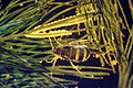Acentria ephemerella 0002004.jpg