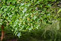Acer buergerianum ssp. ningpoense in Hackfalls Arboretum (4).jpg