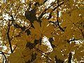 Acer hyrcanum subsp. tauricolum.jpg