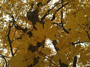 Acer hyrcanum - Taurus maple (Acer hyrcanum subsp. tauricolum) in Autumn, Horsh Ehden Nature Reserve, Lebanon.