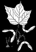 Acer nigrum drawing.png