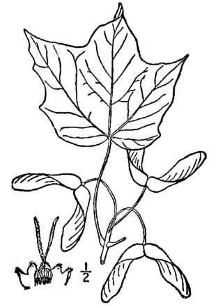 Acer nigrum - Illustration from 1913's Illustrated flora of the northern states and Canada