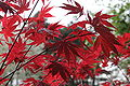 Acer palmatum 'Oshio beni' - JPG1.jpg