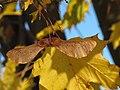 Acer platanoides 4 RF.jpg