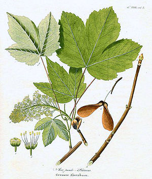 Berg-Ahorn (Acer pseudoplatanus), Illustration
