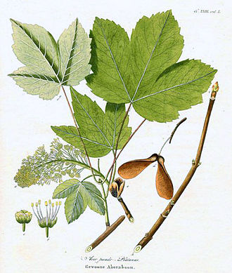Acer pseudoplatanus - Illustration of twigs, buds, leaves, flowers and fruits
