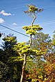 Acer shirasawanum 'Aureum' Golden Full Moon Maple at Myddelton House, Enfield, London 03.jpg