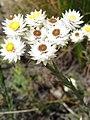 Achyranthemum paniculatum Flipphi 2.jpg