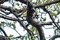 Acorn woodpecker (38472282661).jpg