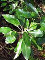 Acronychia wilcoxiana DY.jpg