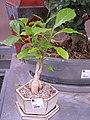 Adansonia bonsai.jpg