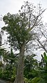 Adansonia digitata 29zz.jpg