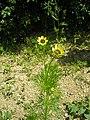 Adonis aestivalis plant (12).jpeg
