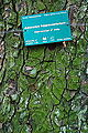 Aesculus hippocastanum-DSC 7318.jpg