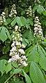 Aesculus hippocastanum. Castañal de La India.jpg