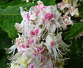 Aesculus hippocastanum (Horse chestnut), flowers, Lainshaw Woods, Stewarton, East Ayrshire.jpg