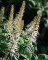 Aesculus parviflora (Bottlebrush Buckeye) (27755302654).jpg
