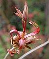 Aesculus parviflora 03.jpg
