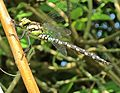 Aeshna cyanea (Southern hawker) male, Vrouwenpolder, the Netherlands - 2.jpg