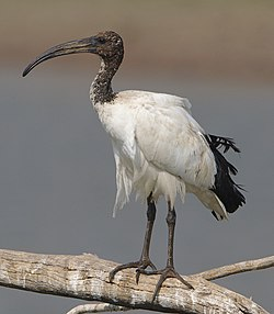 African Sacred Ibis, Threskiornis aethiopicus, at Pilanesberg National Park, South Africa (45081681391).jpg