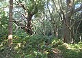 Afromontane Forest IndigenousTemperateTrees - Cape Town South Africa 2.JPG
