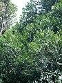 Agathis lanceolata feuillage cône.jpg