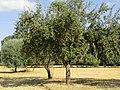 Akçakışla, Elma Ağaçları.jpg
