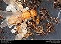 Alate ant queen with brood (Pheidole dentata) (41317174605).jpg