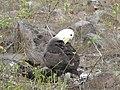 Albatross birds - Espanola - Hood - Galapagos Islands - Ecuador (4870986457).jpg