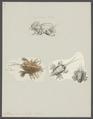 Albunea symnista - - Print - Iconographia Zoologica - Special Collections University of Amsterdam - UBAINV0274 096 12 0006.tif