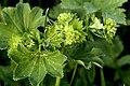Alchemilla.xanthochlora2.-.lindsey.jpg