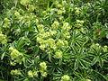 Alchemilla alpina1.JPG