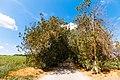 Alei de larice și tei, monument al naturii amplasat în raionul Călărași, satul Rassvet IMG 03.jpg
