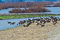 Aleutian geese at San Joaquin National Wildlife Refuge (38036288964).jpg
