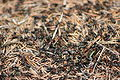 Allegheny mound ant colony at Fort Custer.jpg