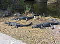 Alligators in Shark Valley^ - panoramio.jpg
