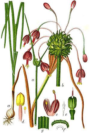 Allium carinatum - Image: Allium carinatum Sturm 38
