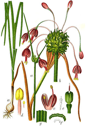 Allium carinatum - Allium carinatum