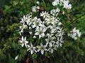 Allium tuberosum, 2021-09-05, Beechview, 04.jpg