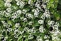 Allium ursinum - img 37846.jpg