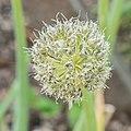 Allium x proliferum 'Rocambole' in Jardin des 5 sens (1).jpg